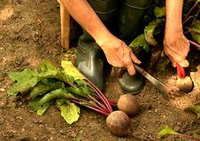 A woman pulls out ripe beets from a garden bed stock images