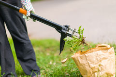 Woman pulling weeds. Out, dandelion with a roots royalty free stock photo