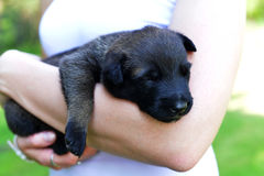 Woman with  puppies. Belgian shepherd malinois in  hands Stock Images