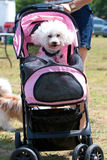 Woman Pushes Poodle In Baby Stroller Stock Images
