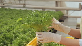 Woman put container with lettuce salad growing in ground, transfers to yellow boxes light