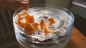 Home drying chanterelles stock footage