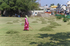 Woman raking mowed grass. A woman raking mowed grass in a temple in India Royalty Free Stock Image