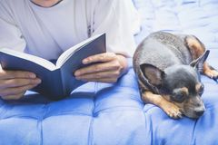 Woman reading a book with sleeping chihuahua dog beside woman. In the bed Stock Image