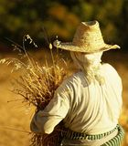 Woman reaping wheat. The traditional ways of agriculture in Morocco Royalty Free Stock Photo