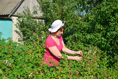 Woman reaps a crop of raspberries in the garden Royalty Free Stock Photos