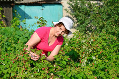 Woman reaps a crop of raspberries in the garden Royalty Free Stock Image