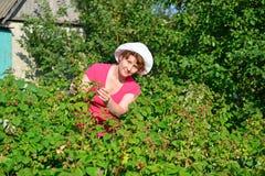 Woman reaps a crop of raspberries in the garden Stock Images