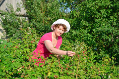 Woman reaps a crop of raspberries in the garden Royalty Free Stock Photography
