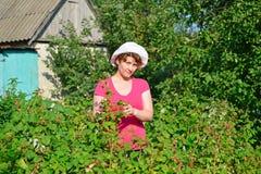 Woman reaps a crop of raspberries in the garden Stock Photos