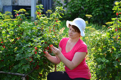 Woman reaps a crop of red currant in  garden Stock Photos