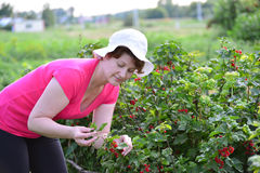 Woman reaps a crop of red currant in  garden Royalty Free Stock Image