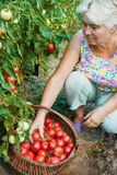 Woman reaps a crop of tomatoes in August Stock Image