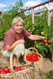 Woman reaps crop of tomatoes Royalty Free Stock Photos