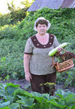 Woman reaps a crop of zucchini Royalty Free Stock Photo