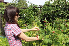 Woman reaps the fruits in sunny garden Stock Image