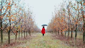 Woman in red coat, hat and umbrella walking alone between trees in apple garden at autumn season. Girl goes ahead away stock video