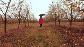 Woman in red coat and with umbrella walking alone between trees in apple garden at autumn season. Girl goes ahead away stock footage
