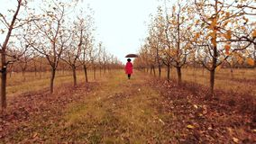 Woman in red coat and with umbrella walking alone between trees in apple garden at autumn season. Girl goes ahead away stock video footage