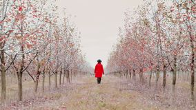 Woman in red coat walking alone between trees in apple garden at autumn season. Girl goes ahead away from camera stock video footage