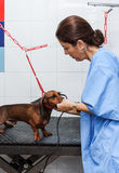 Woman in red dachshund canine hairdresser Stock Image