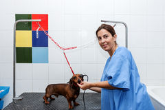 Woman in red dachshund canine hairdresser Royalty Free Stock Photography