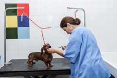 Woman in red dachshund canine hairdresser Stock Photography