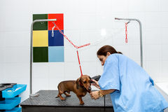 Woman in red dachshund canine hairdresser Stock Photos