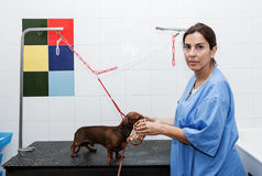 Woman in red dachshund canine hairdresser Royalty Free Stock Image