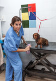 Woman in red dachshund canine hairdresser Stock Images