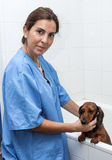 Woman in red dachshund canine hairdresser Royalty Free Stock Photo