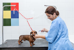 Woman in red dachshund canine hairdresser Stock Photo