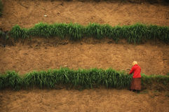 Woman in red dress harvesting on farm Stock Images
