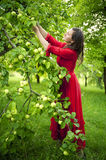Woman in red dress picking apples Royalty Free Stock Photos