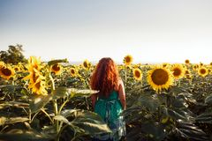 Red-haired young woman walking away in a field of sunflowers, view from her back. Copy space stock photos