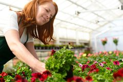 Woman working in a nursery - Greenhouse with colourful flowers. Woman with red hair working in a nursery - Greenhouse with colourful flowers Stock Photos