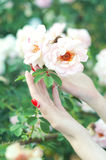 Woman with red manicure holding a rose flower Stock Photos