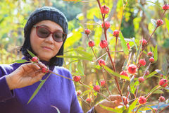Woman and red roselle plant in agriculture plantation Royalty Free Stock Image