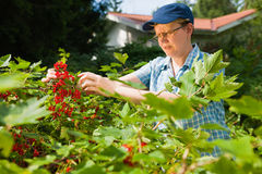 Woman and redcurrant Stock Image