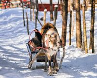 Woman while reindeer sleigh ride at winter Rovaniemi. Lapland, Finland Royalty Free Stock Photography
