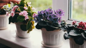 Woman remove flower pots with beautiful, blooming, tender violet, red, pink violets bloom on the windowsill stock video