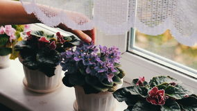 Woman remove flower pots with beautiful, blooming, tender violet, red, pink violets bloom on the windowsill stock video footage