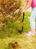Woman remove tree from backyard, digging soil with shovel. Woman gardener digs ground soil with shovel for removal withered dried thuja tree from her backyard Royalty Free Stock Image