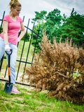 Woman removing dried thuja tree from backyard Royalty Free Stock Images