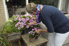 Woman removing old flowers Stock Photos