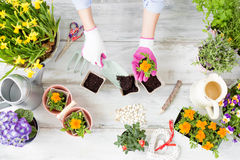 Woman replanting flowers Stock Photo