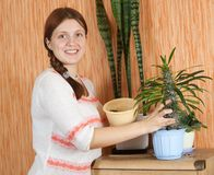 Woman repotting Pachypodium cactus Stock Image