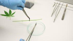 Woman research scientist cannabis tweezers preparation cultivation