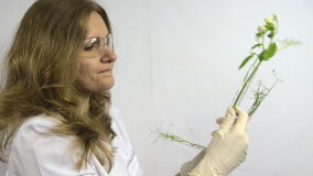 Woman researcher study three pea sprout in glass flask stock video footage