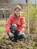 Woman resetting  raspberry sprouts Stock Photo